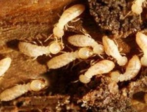 diagnostic termites habitat expertise. Black Bedroom Furniture Sets. Home Design Ideas